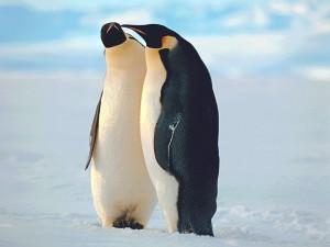 penguins-couple